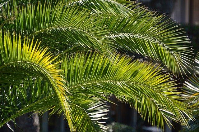 Palmenzweige